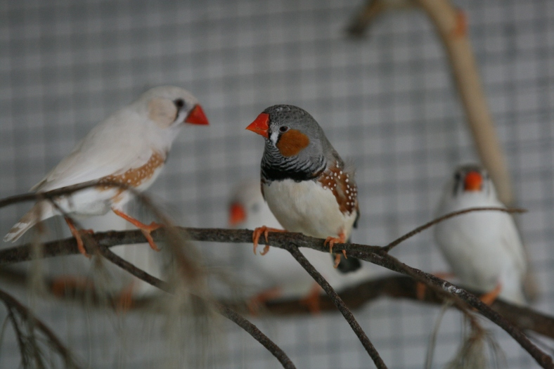Zebra finches (image courtesy of Dana Campbell)