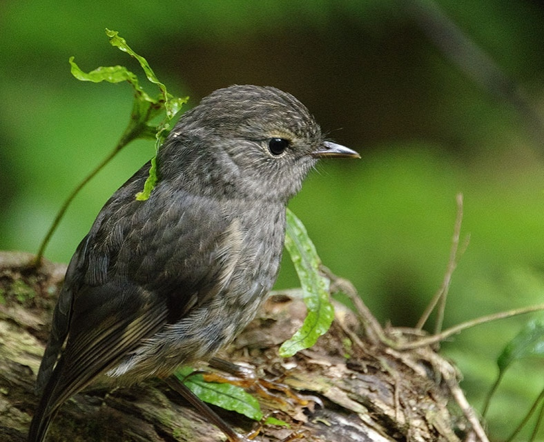 A juvenile North Island robin at Zealandia (photo courtesy of Donald Laing).