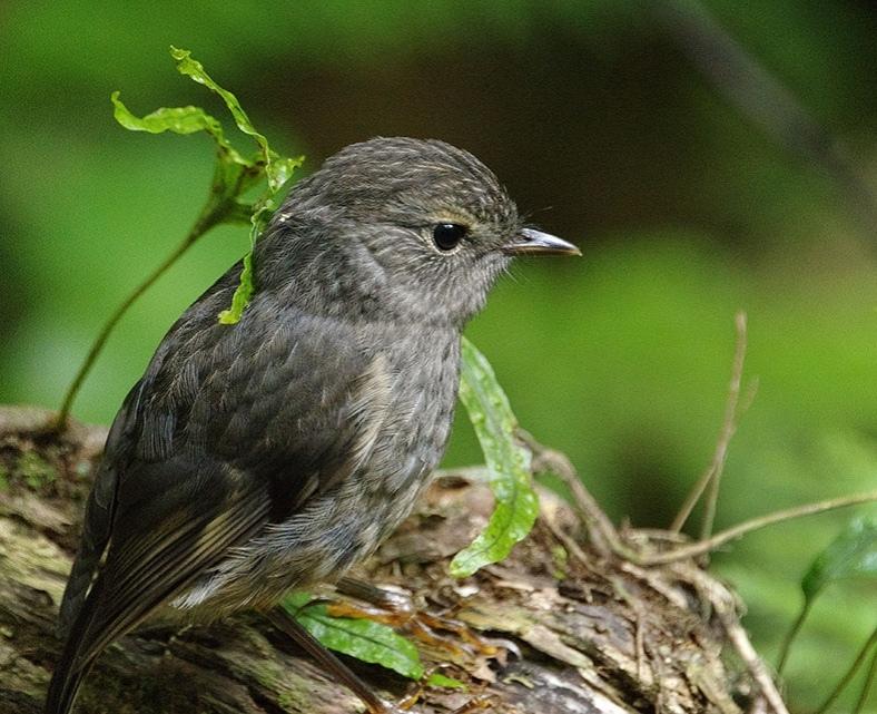 A juvenile North Island robin at Zealandia (photo courtesy of Donald Laing).