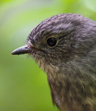 A North Island robin at Zealandia. Photo courtesy of Don Laing.