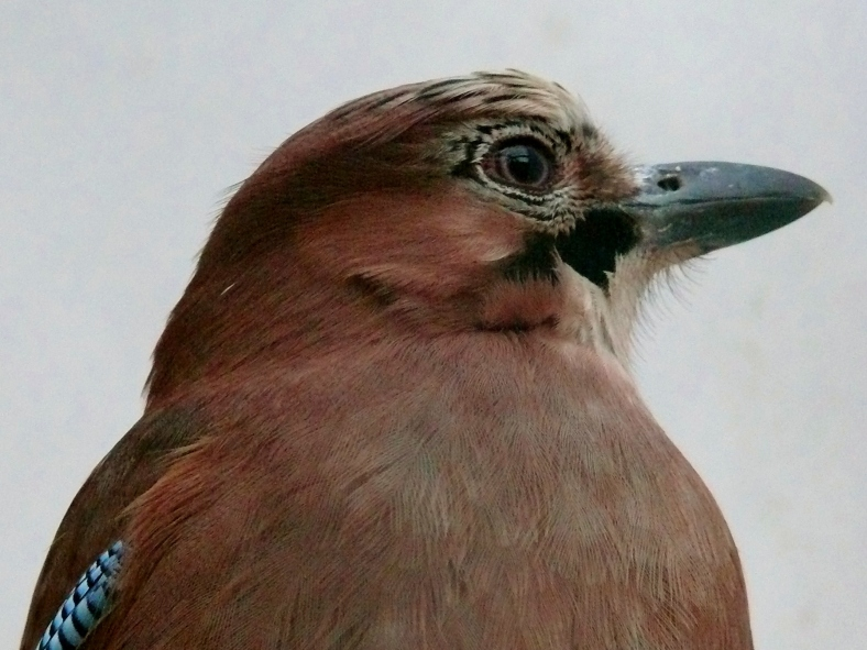 Ohuruogu, a female Eurasian jay (image courtesy of Kylie Millar)
